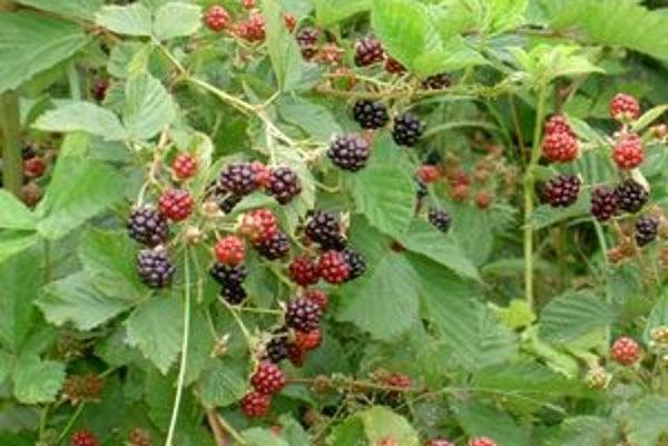 V súčasnosti je sezóna zberu lesných plodov. V lese dozrievajú okrem černíc (na snímke) aj čučoriedky a maliny.