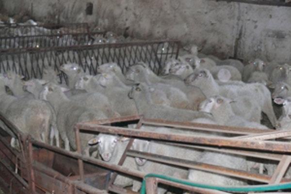 Strihači oviec prichádzajú dvakrát do roka. Za ostrihanie jednej si pýtajú 0,66 eur.