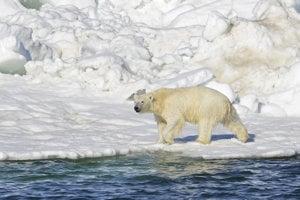 Ľadový medveď po plavbe morom.