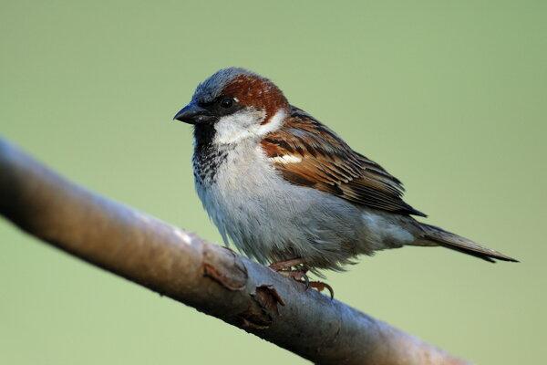 Kedysi bolo vrabcov veľa, dnes je ich už vidieť menej.
