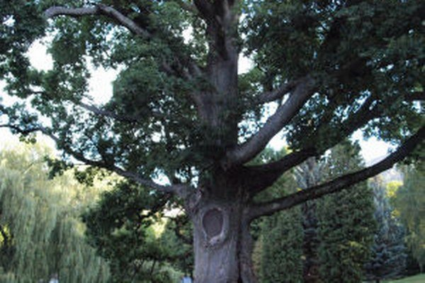 Strom má podľa niektorých zdrojov takmer 400 rokov.