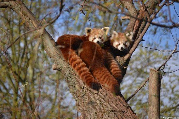 Žijú v korunách stromov.