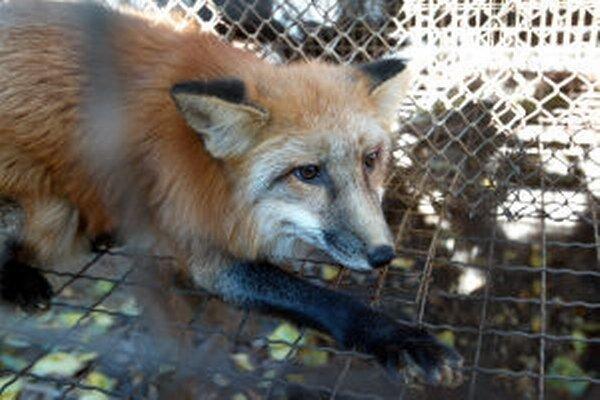 Pre problém s líškami v centre Kremnice objednali pascu.