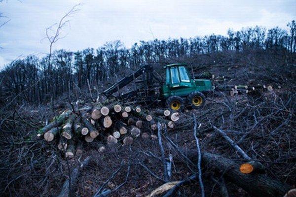 Takto rúbali veľké stromy na konci roka.