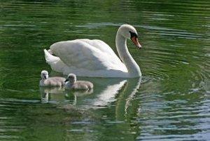Dnes si v Petržalke zaplávajú len labute.