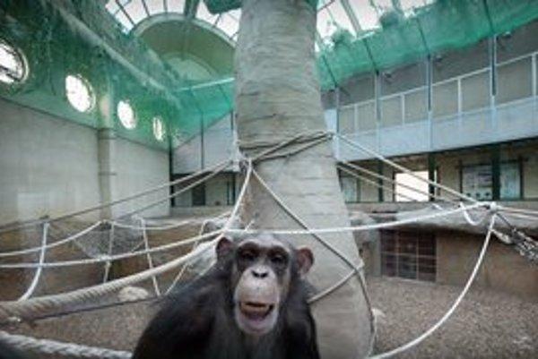 Pavilón ľudoopov otvorili v apríli 2010. Odvtedy stihli preskúmať všetky jeho zákutia. Na snímke šimpanzica Majoránka.