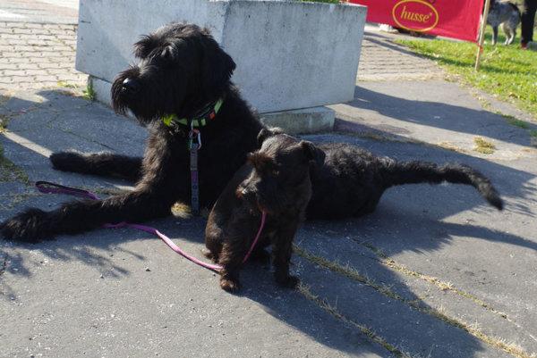 Pri vyhlasovaní hlavnej ceny prišla svojho fešáka Jarmana jeho priateľka veru brániť pred záujmom iných psích slečien.