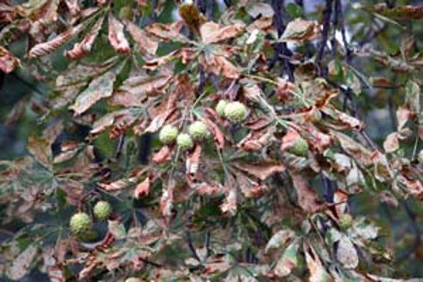Gaštany v meste napadol ploskáčik aj napriek postreku. Na snímke sú stromy v Sade Janka Kráľa – najprv zoschli listy, teraz schnú aj konáre.