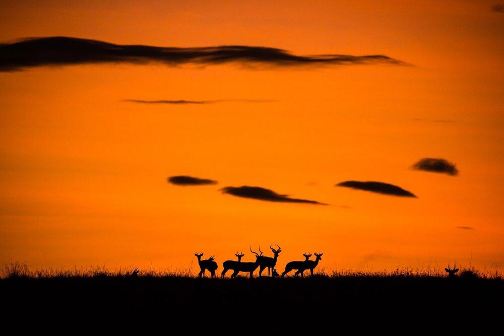 Antilopy impala pri východe slnka. Siluety antilop v Masai Mara v Keni.