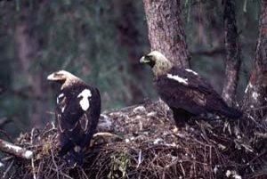 Najvzácnejšie druhy chránia vtáčie územie Sysľovské polia pri Bratislave – dropa fúzatého, územie Dolné Považie - krakľu bielu a Košická kotlina – orla kráľovského (na snímke) a sokola rároha.
