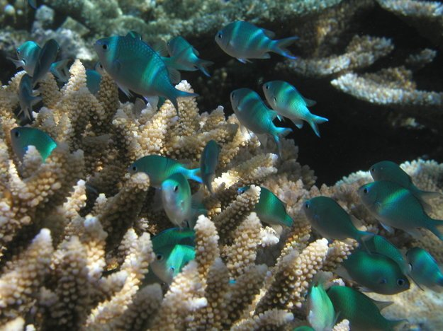 Ryby z čeľade pomacentrovité pri zdravom korale.