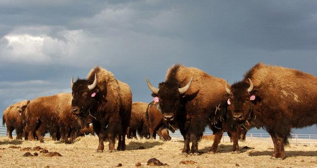 Američania označili bizónov za svoje národné zviera.