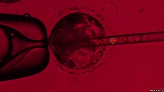 Vkladanie ľudských kmeňových buniek do prasacieho embrya.