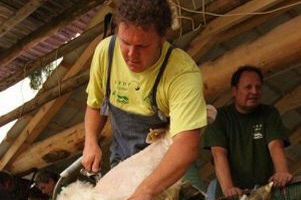 Ovce sa musia strihať dvakrát do roka. Ozdobu im dávajú dolu profesionálni strihači.