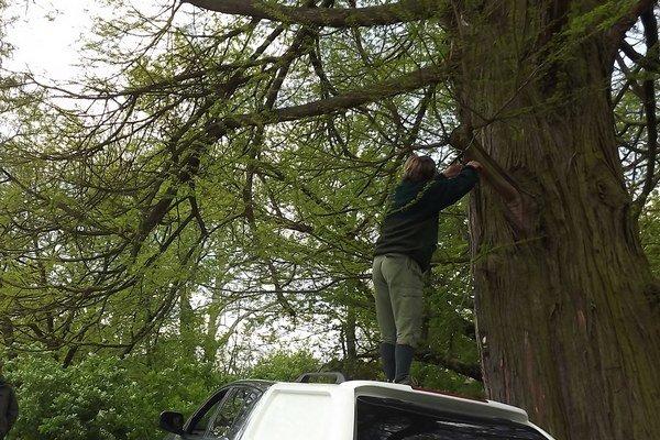 Na najstarší tisovec dvojradý na Slovensku upevnil dendrológ tabuľu s označením Chránený strom.
