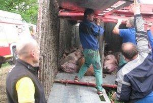 Kamión sa prevrátil, stovka zvierat uhynula.