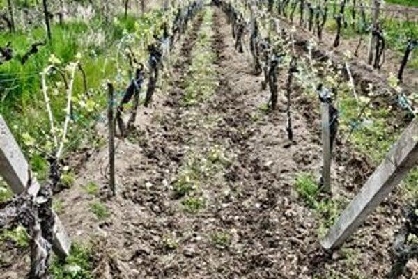 Okrem viniču pestujú v Pukanci aj sladkú cibuľu.