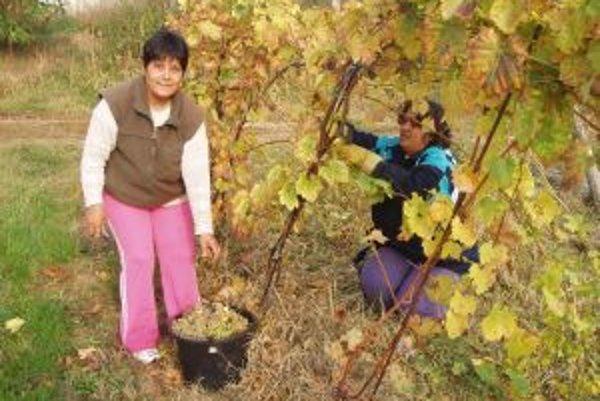 Úroda je bohatá, vinohradníci však hrozno nemajú komu odovzdať.