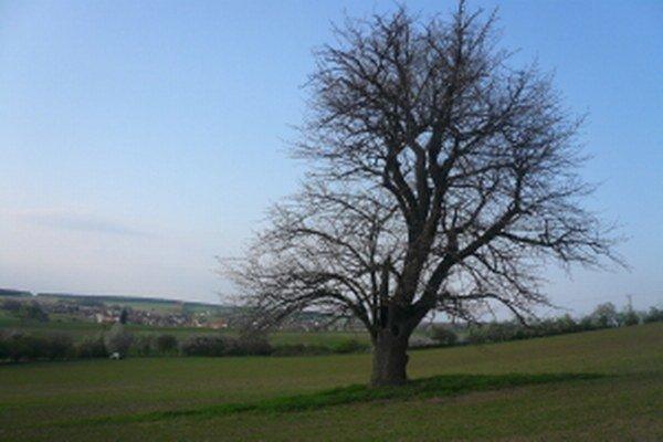 Oskoruša na Smolinskom, podľa niektorých zdrojov patrí medzi najstaršie na Slovensku.