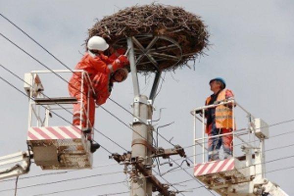 Ochranári a pracovníci Západoslovenskej energetiky pri úpravách čáčovského hniezda bocianov bielych.