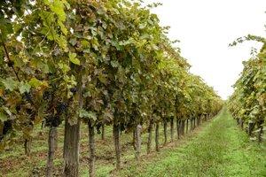 Strekovské vinohrady.