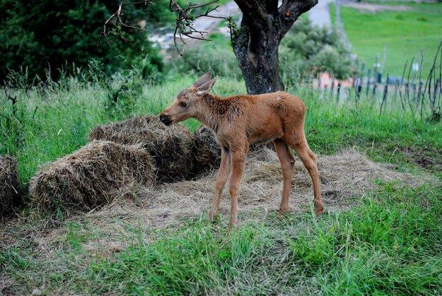 Losíčatko sa narodilo zhruba pred mesiacom.
