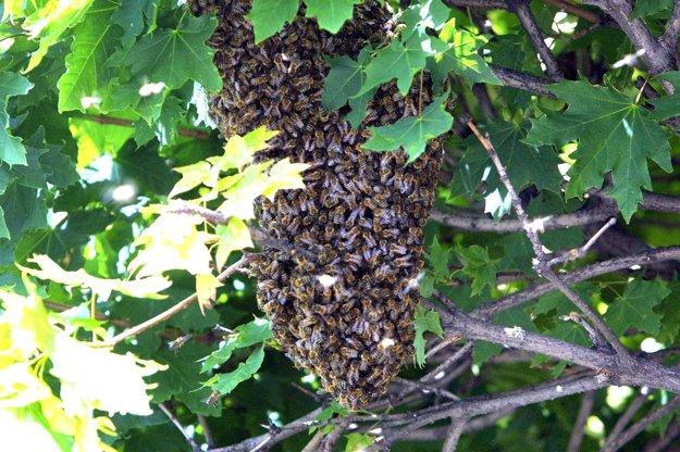 Ak sa niekde objaví roj včiel, ľudia by mali byť opatrní.