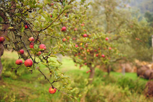 Stará jabloň.