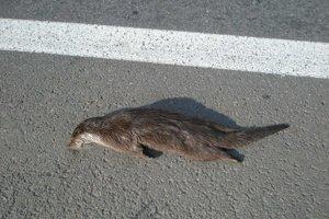 Uhynutá vydra. Smrť našla pod kolesami auta.
