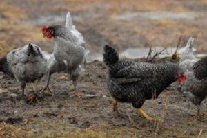 Niektoré sliepky a kurence rastú rýchlejšie.
