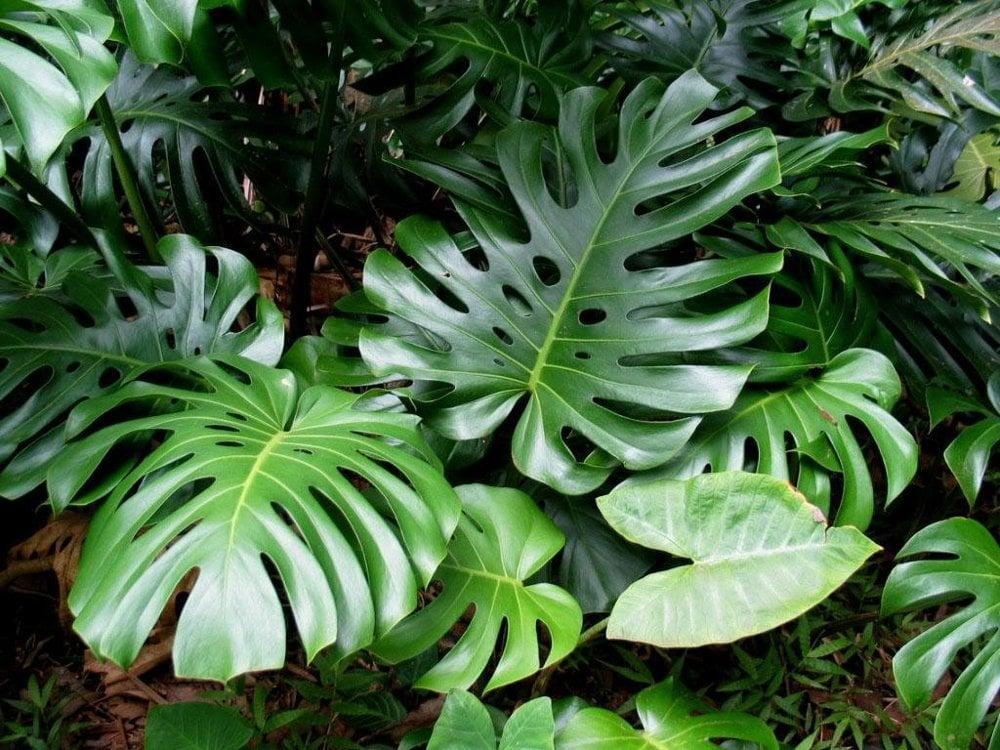 Aj filodendrón (monstera deliciosa) si dokáže skvele poradiť s formaldehydom. Má veľké húževnaté listy, preto má o čosi väčšie priestorové nároky,no o to viac ovzdušia dokáže vyčistiť.