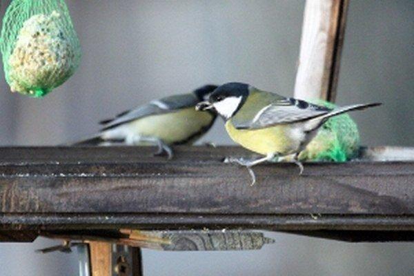 Kŕmidlá počas tejto zimy sýkorky príliš nenavštevujú.
