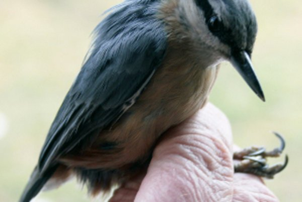 Krúžkovanie má pre ornitológiu veľký význam.