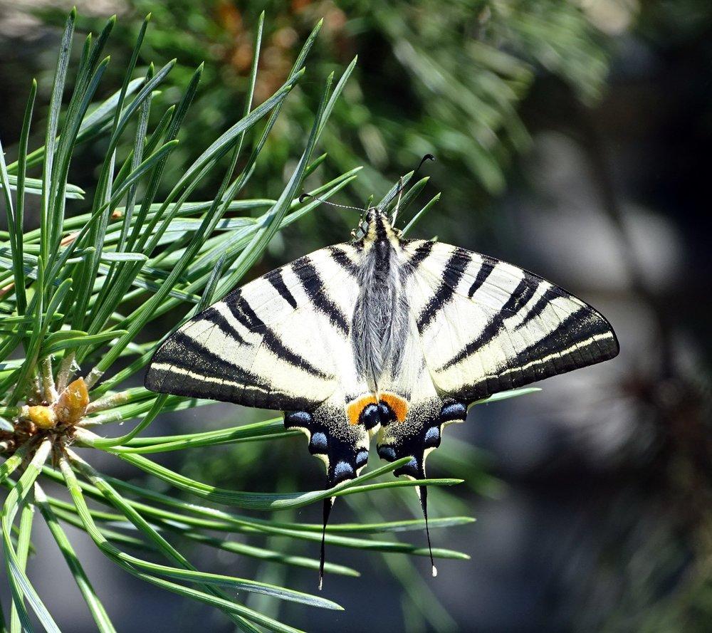 Lietajúca paleta - vidlochvost ovocný