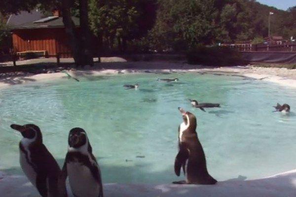 Tučniaky vo svojom živle. Plavecký výcvik zvláda trio mláďat na výbornú.