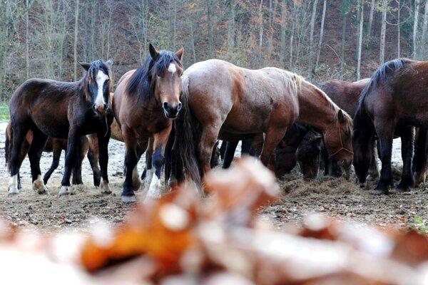 Noriky z Dobšinej sú špecifické spôsobom chovu. Od jari do jesene sú zvieratá vo voľnej prírode a do stajní sa vracajú až na zimu, čo zabezpečuje ich lepšiu odolnosť a vytrvalosť i pri ťažkej práci v lese.