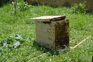 Najdôležitejšie je odchytiť kráľovnú, včely ju nasledujú do úľa.