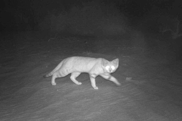 Mačka púšťová na love.
