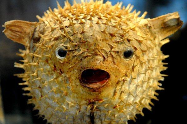 Ryby z čeľade štvorzubcovité obsahujú tetrodotoxín.