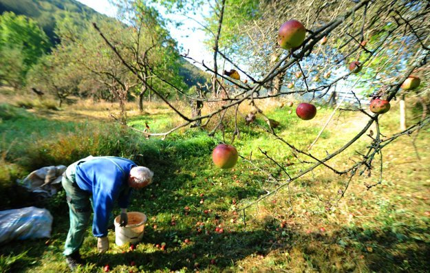 Miestny osadník Rudolf Ujčík zbiera padnuté jablká v starom sade počas samozberu rôznych odrôd jabĺk v osade Španie pri obci Nová Bošáca.