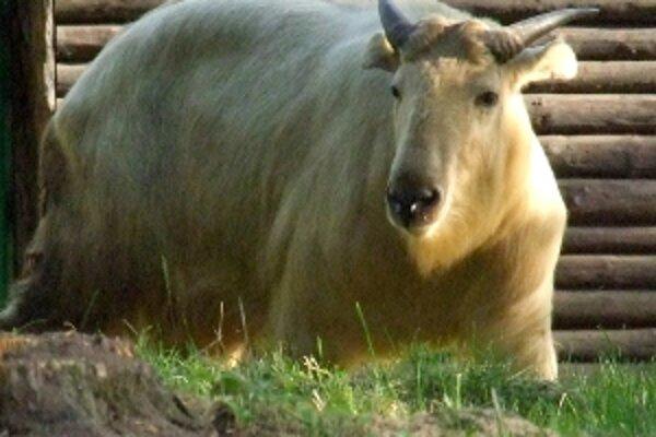 Takin zlatý patrí k najvzácnejším zvieratám na svete.