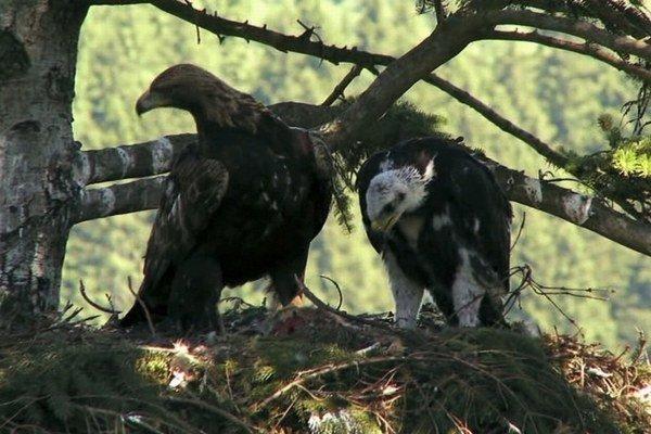 Hniezdo orlov skalných na Orave sledovali aj filmári, ktorí o dravcovi nakrúcajú dokument.