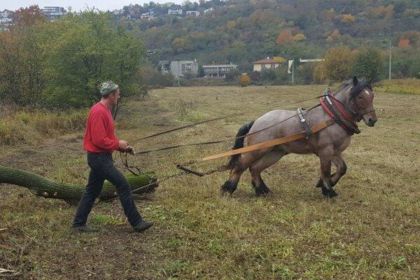 Pomáhajú aj kone. Na ťažšiu prácu si vybrali statného pomocníka.