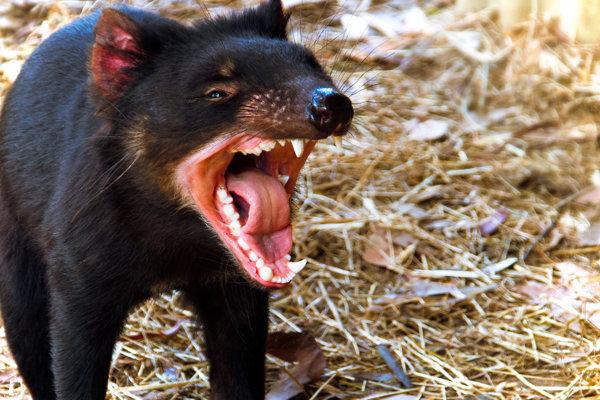Diabol tasmánsky.