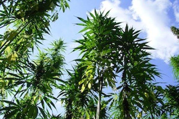 Konopa dosahuje výšku od 90 cm do 4 m v závislosti od odrody. Odrody, ktoré sa pestujú kvôli semenu, narastajú asi do metrovej výšky.