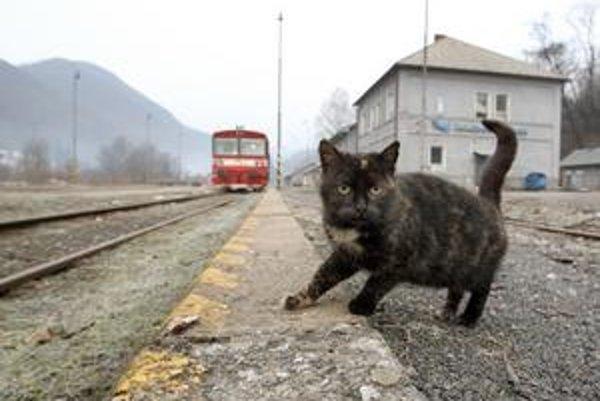 Túlavé mačky domáce majú, v prípade že ich nebudú poľovníci strieľať, zničiť genofond mačky divej.