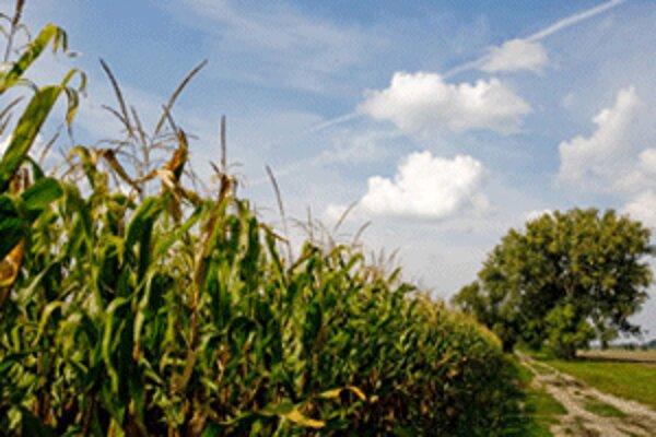 Zlé počasie sa podpíše aj pod horšiu úrodu kukurice.