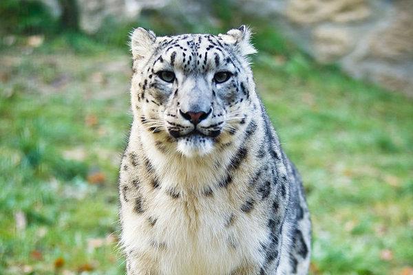 Ohrozený druh, leopard snežný.