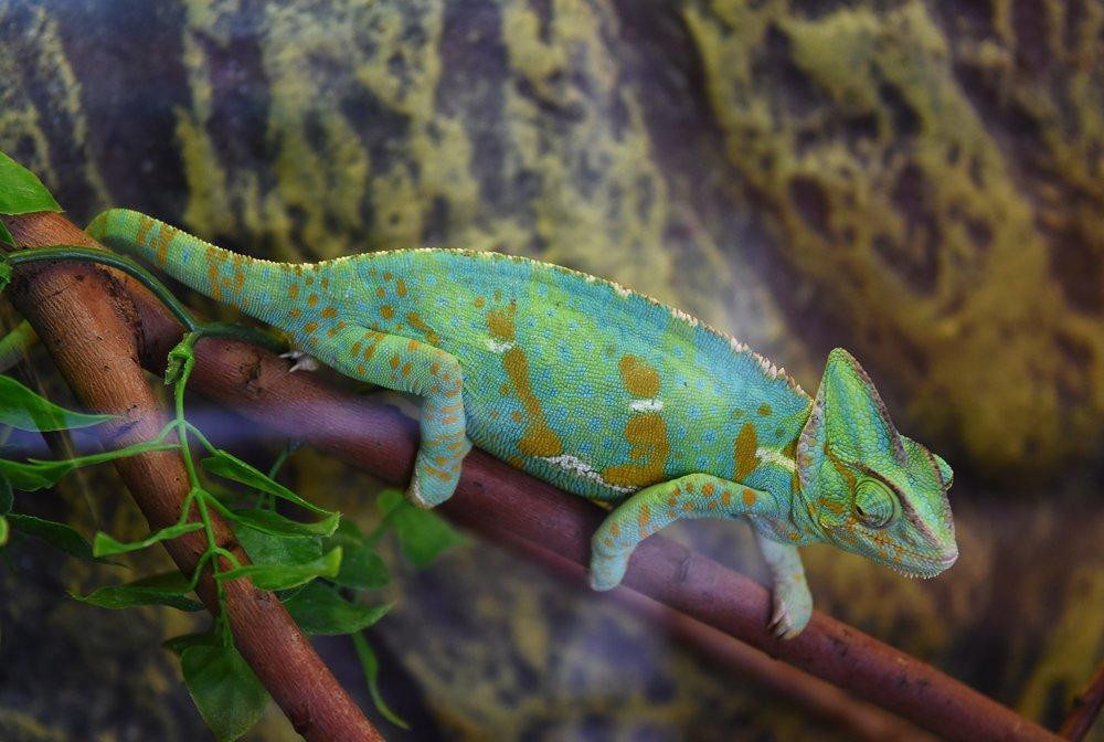 Na snímke chameleón jemenský v teráriu Wild parku.