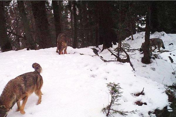 Pekný záber fotopasce na svorku troch vlkov.